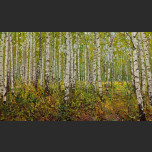 Cotton of the birches