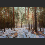 The sun in the pine forest